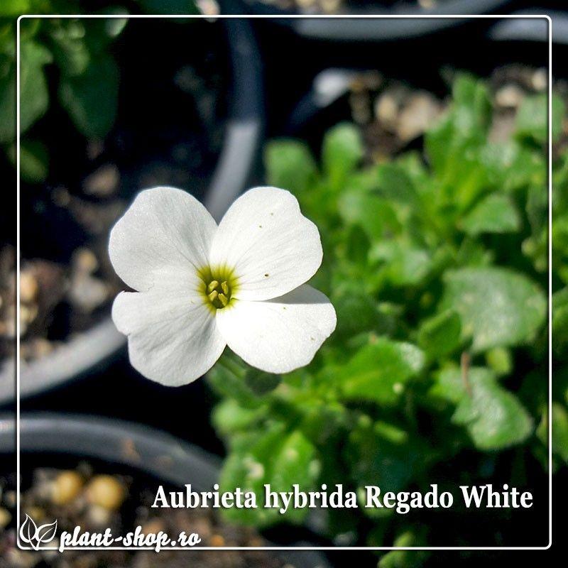 Aubrieta hybrida Regado White G-9
