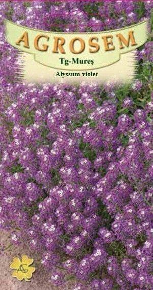 Seminte de Alyssum violet - AS - Lobularia maritima