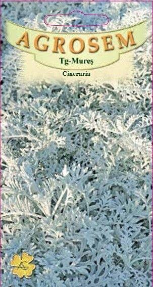Seminte de Cineraria - AS - Senecio maritima