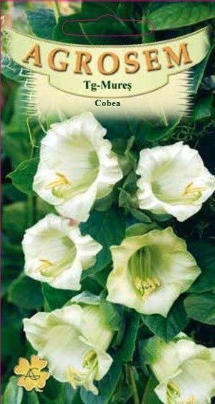 Seminte de Cobea - AS - Cobaea scandens