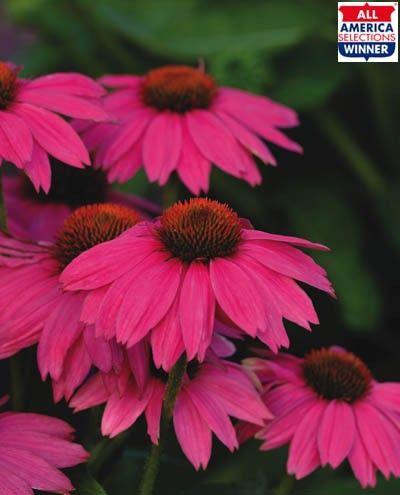 Echinaceea purpurea PowWow Wild Berry G-9