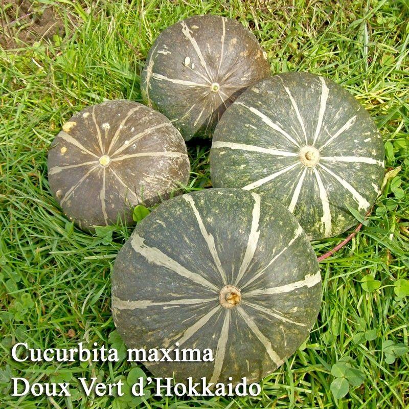 Seminte Dovleac - Cucurbita maxima Doux Vert d'Hokkaido sem normale
