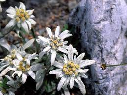 Floare de colţi - Leontopodium alpinum G-9