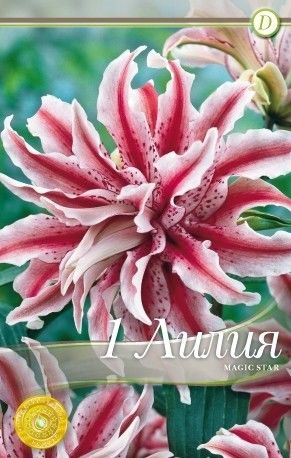 Lilium oriental Magic Star - 1 bulb