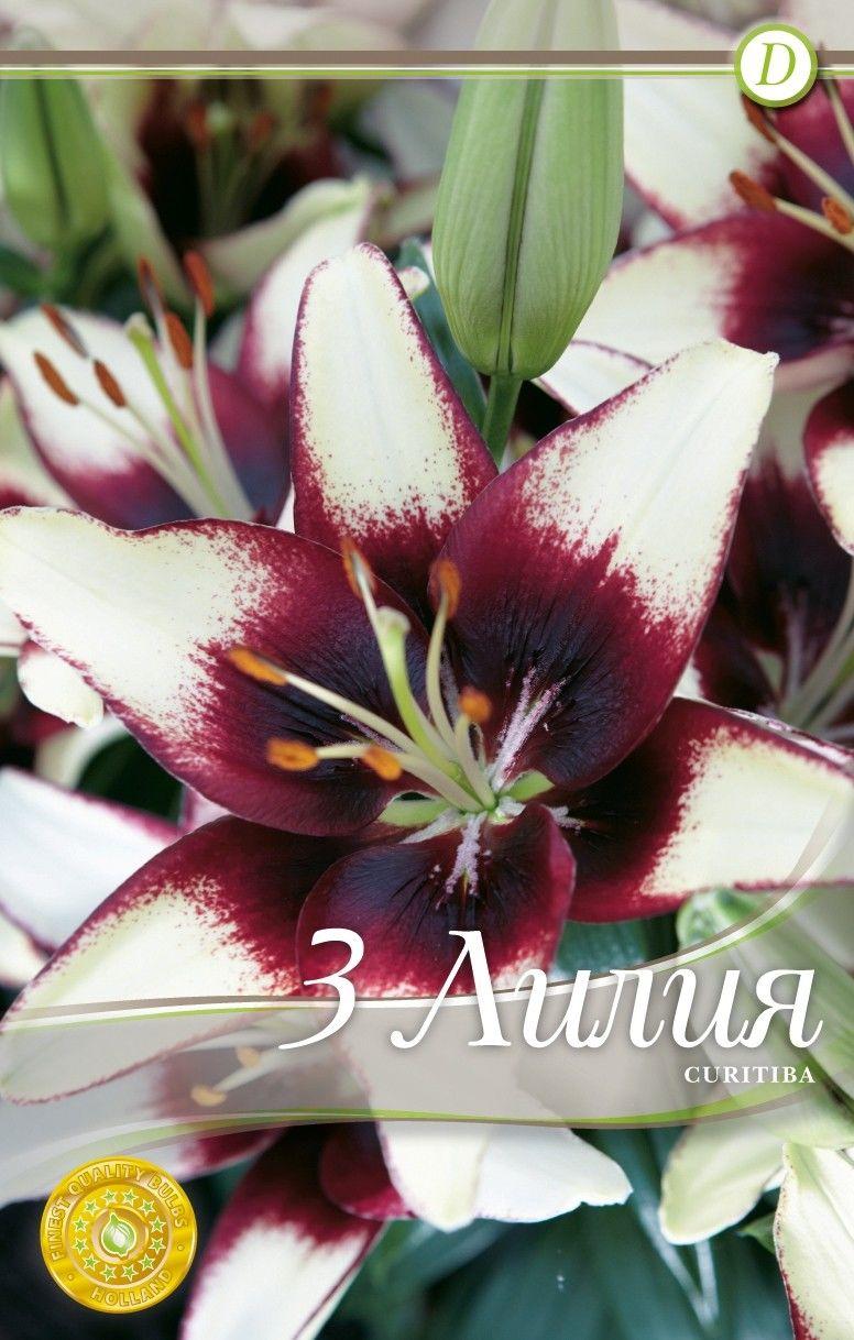 Lilium asiatic Curitiba - 3 bulbi
