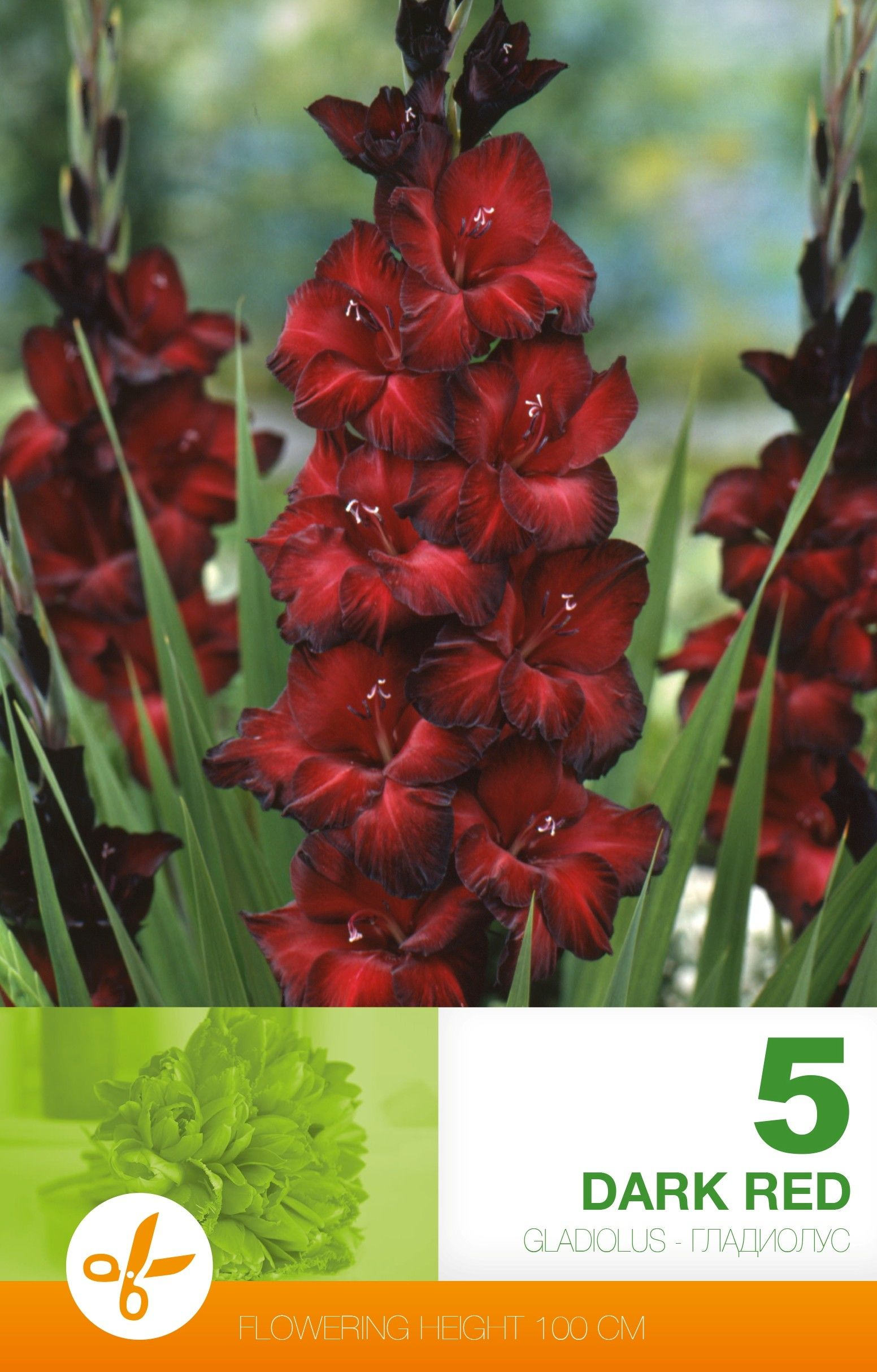 Gladiole bulbi Dark Red - 5 bulbi
