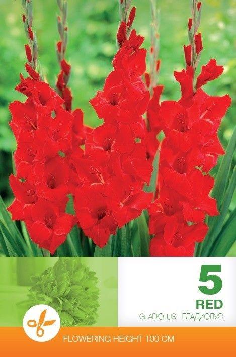 Gladiole bulbi Red - 5 bulbi