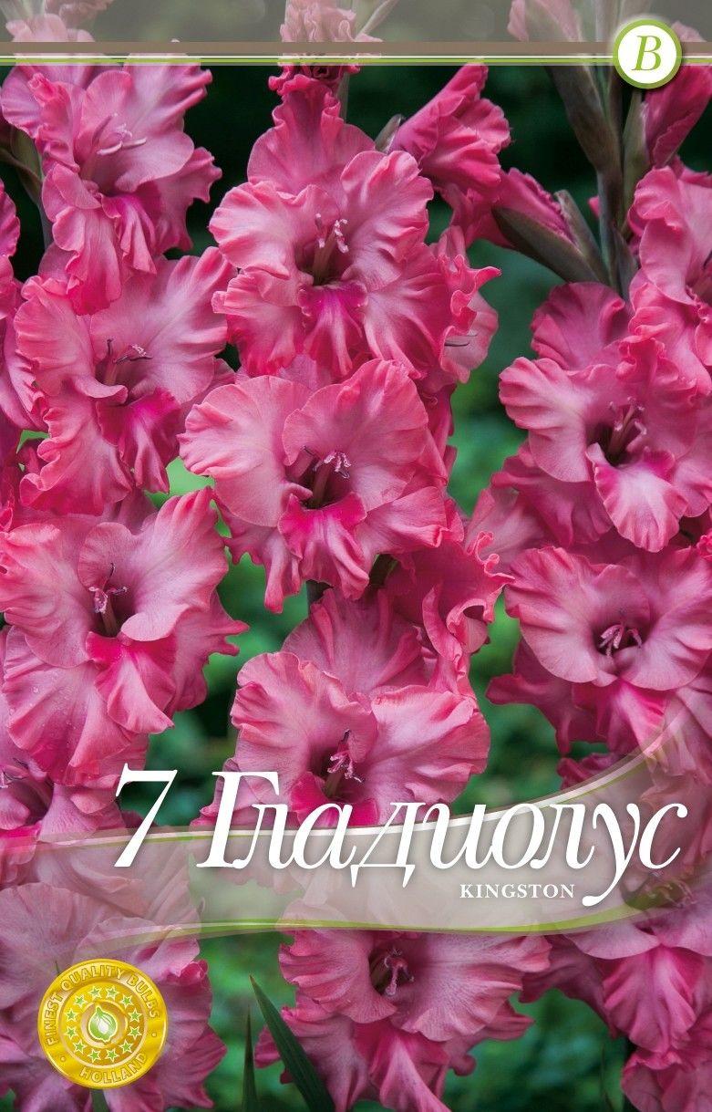 Gladiole bulbi Kingston - 7 bulbi