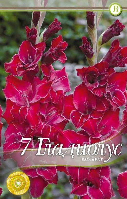 Gladiole bulbi Baccarat - 7 bulbi