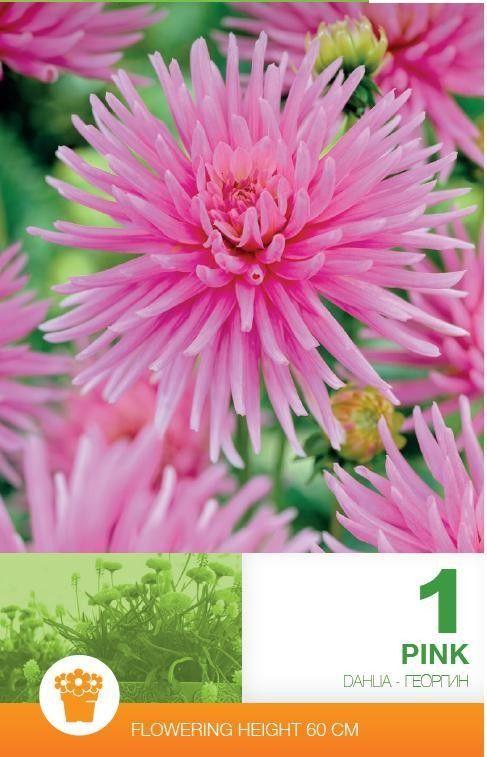 Dahlia cactus Pink - 1 bulb