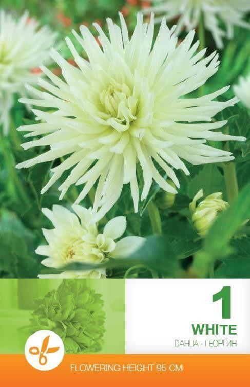 Dahlia cactus White - 1 bulb