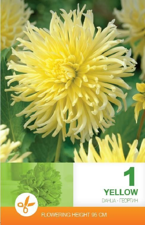 Dahlia cactus Yellow - 1 bulb