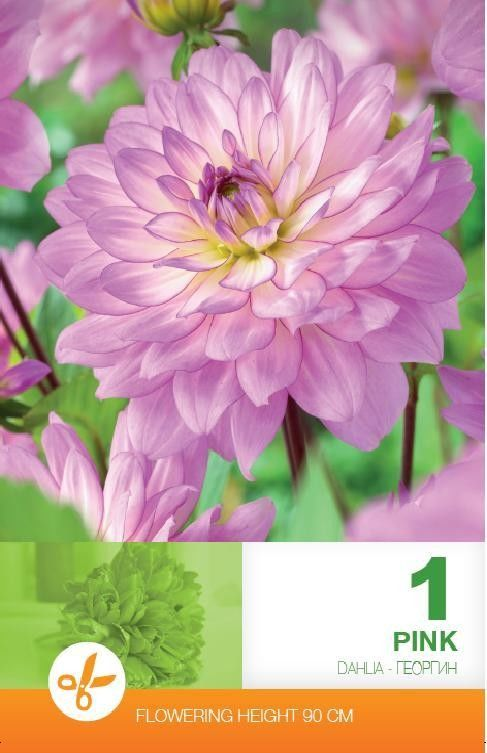 Bulbi de dalii - Dahlia decorative Pink - 1 bulb