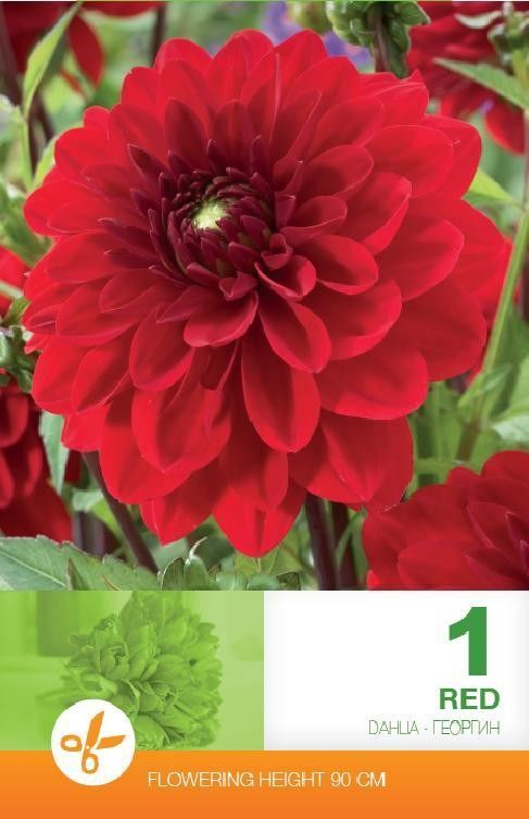 Bulbi de dalii - Dahlia decorative Red - 1 bulb