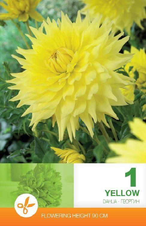 Dahlia decorative Yellow - 1 bulb