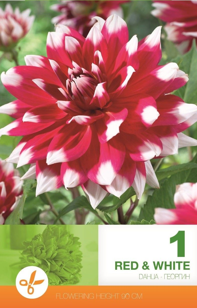 Dahlia decorative Red & White - 1 bulb