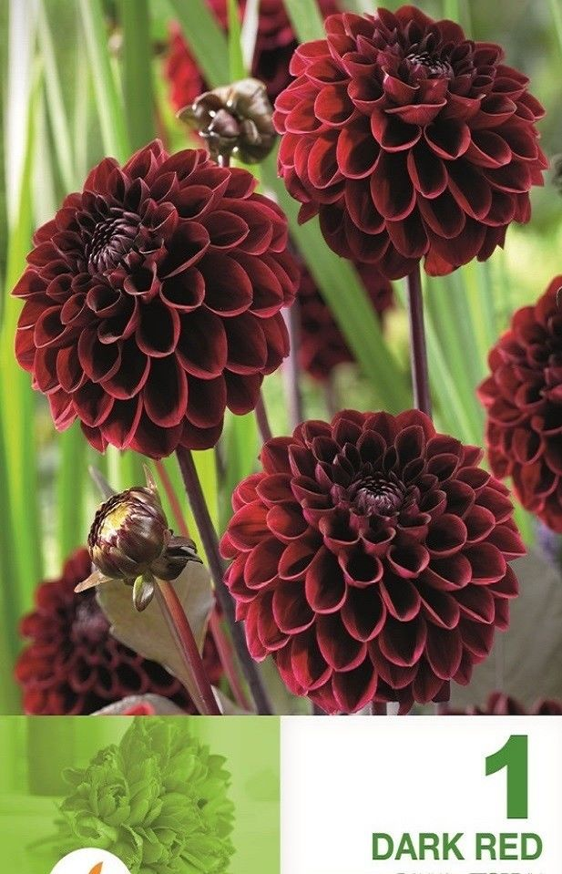 Dahlia pompon Dark Red - 1 bulb