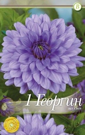 Dahlia decorative Blue Boy - 1 bulb