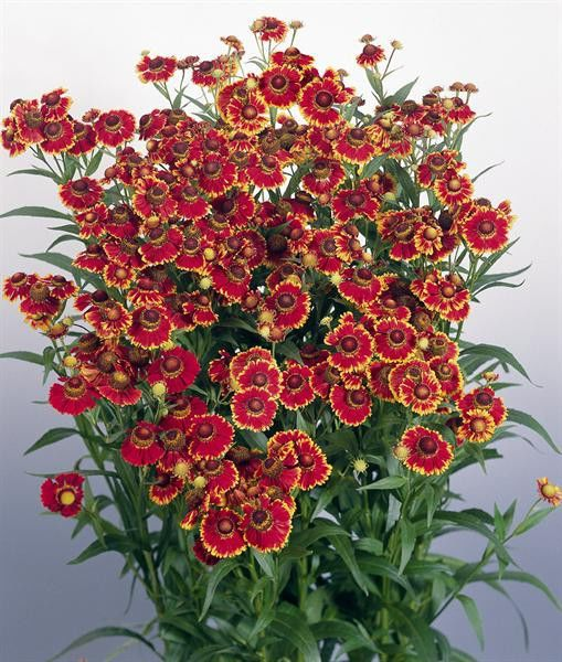 Helenium autumnale Helena Red Shades G-9