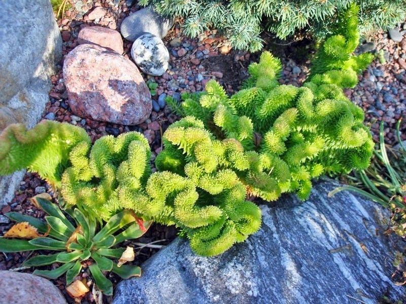 Sedum rupestre Cristatum Pack 10 plante