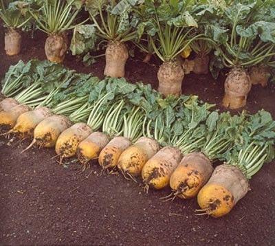 Seminte de Sfecla furajera Ursus 100g - AS - Beta vulgaris