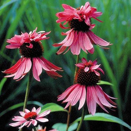 Echinaceea purpurea Doubledecker G-9