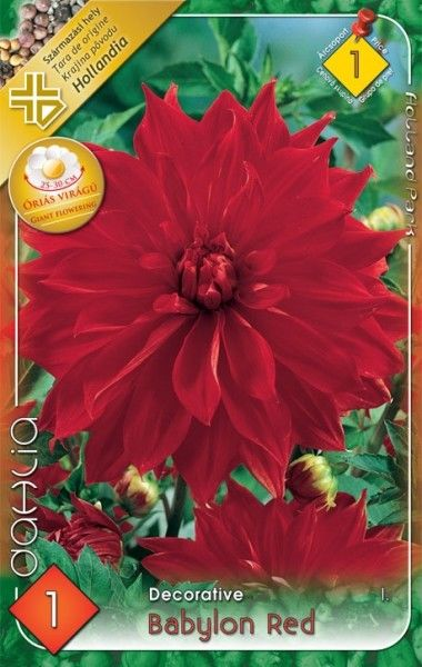 Dahlia decorativa Babylon Red - bulb KM