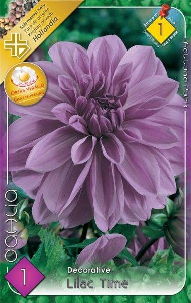 Dahlia decorativa Lilac Time - bulb KM