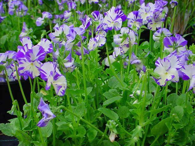 Viola pubescens Rebecca Cawthorn G-9
