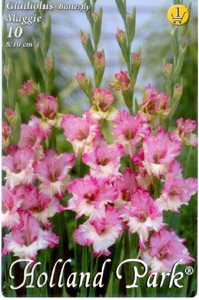 Gladiole Butterfly Maggie - 10 bulbi KM