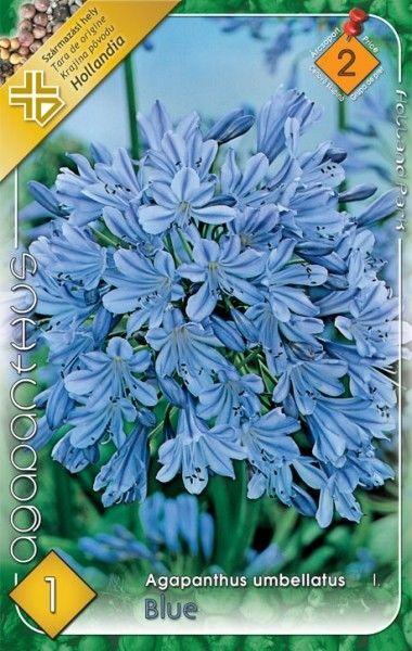 Agapanthus umbellatus Blue - 1 bulb KM