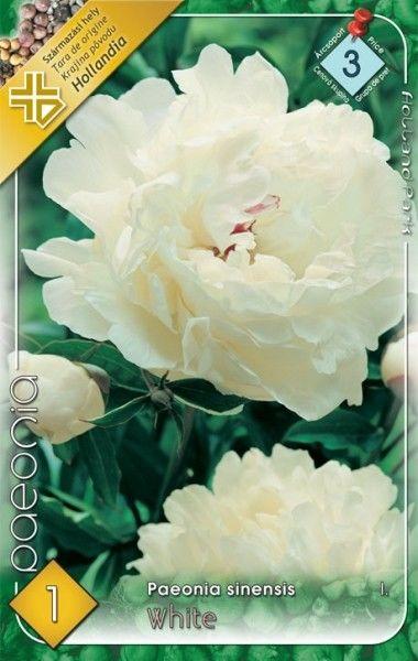 Paeonia sinensis White - Bujor alb bulb KM