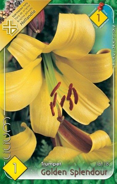 Lilium trumpet Golden Splendour - 1 bulb KM