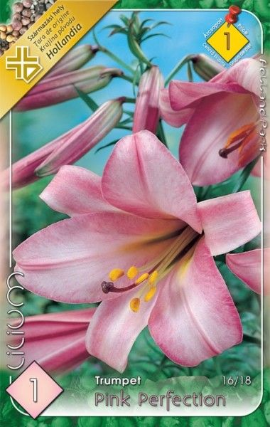 Lilium trumpet Pink Perfection- 1 bulb KM