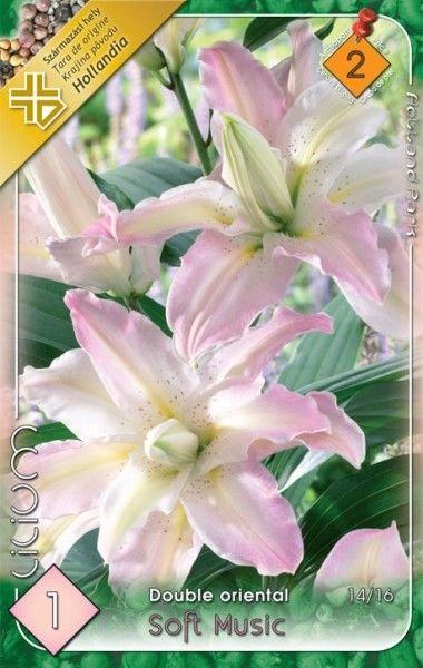 Lilium double oriental Soft Music - 1 bulb KM
