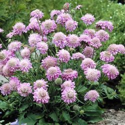 Scabiosa japonica Pink Diamonds G-9