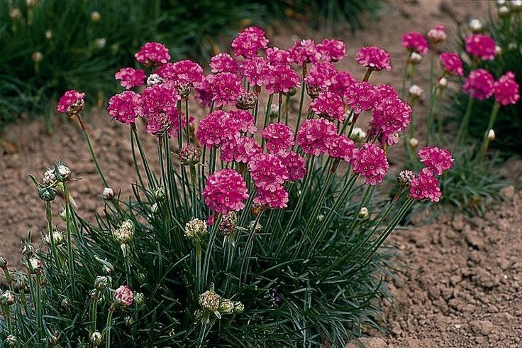Armeria maritima Abbey Deep Rose G-9