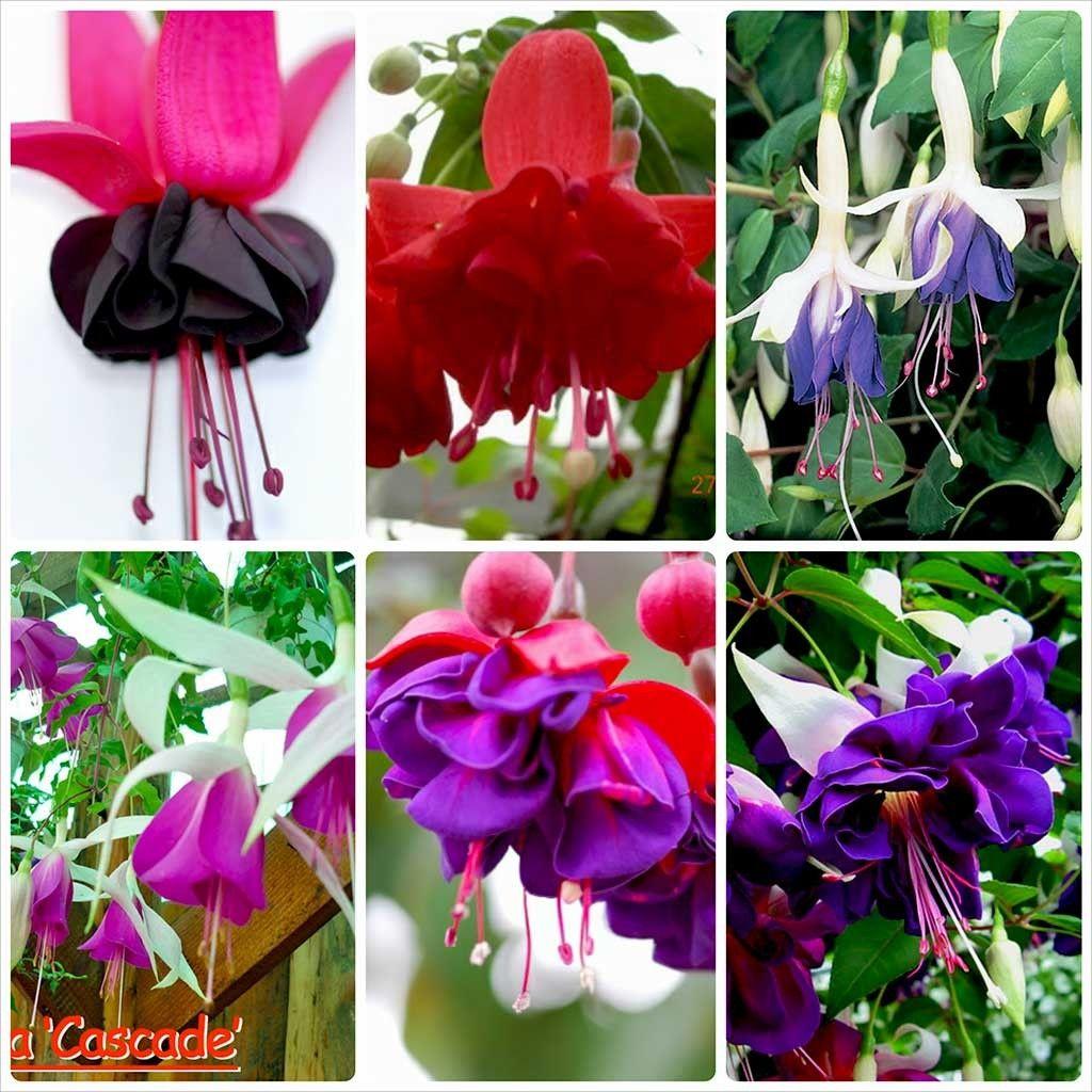 Pachet Fuchsia 9 plante