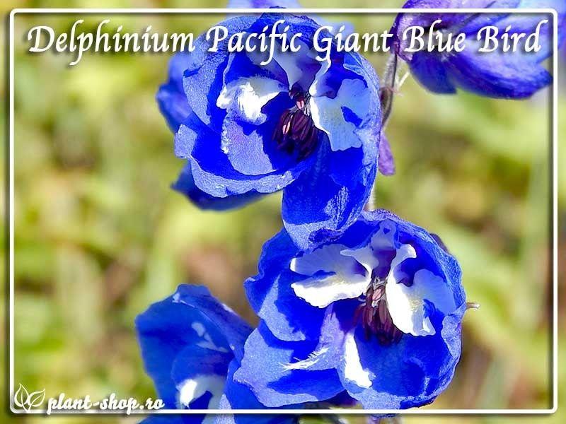 Delphinium x cultorum Pacific Giants Blue Bird G-9