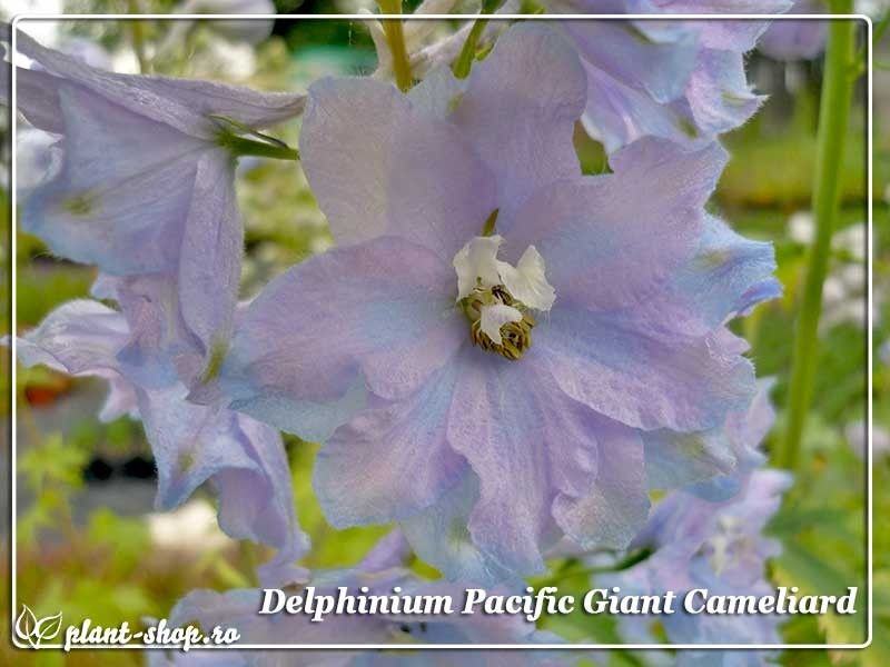 Delphinium x cultorum Pacific Giants Cameliard G-9
