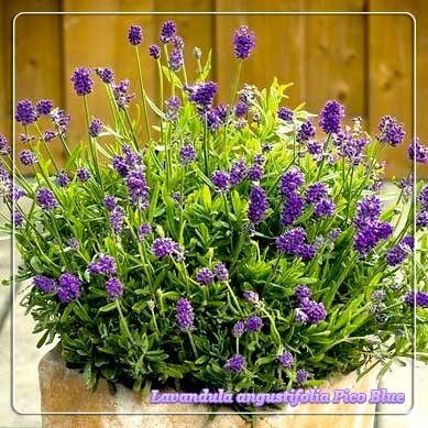 Lavandula angustifolia Pico Blue G-9