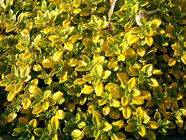 Thymus citriodorus Golden Lemon G-9