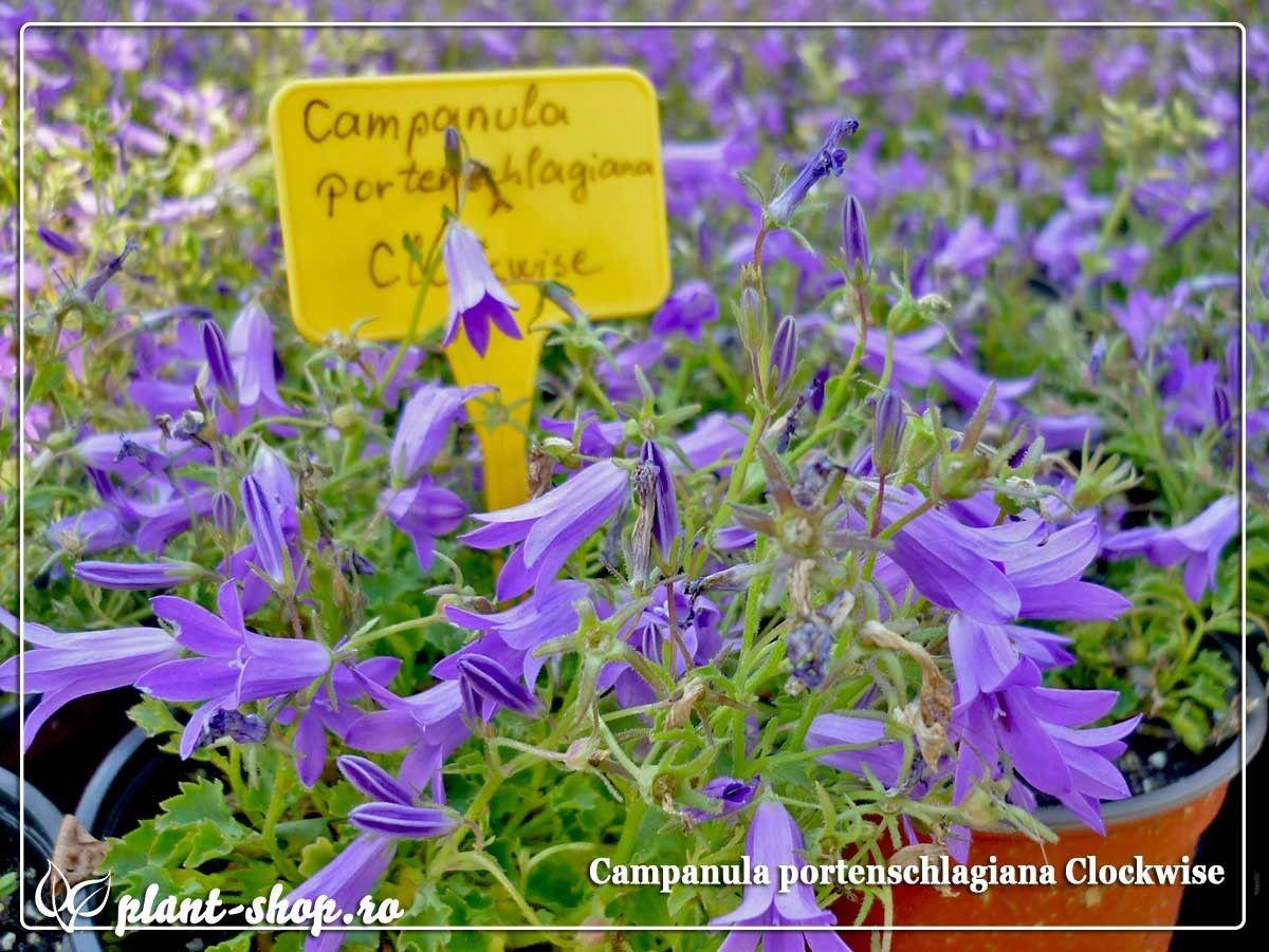 Campanula portenschlagiana Clockwise G-9