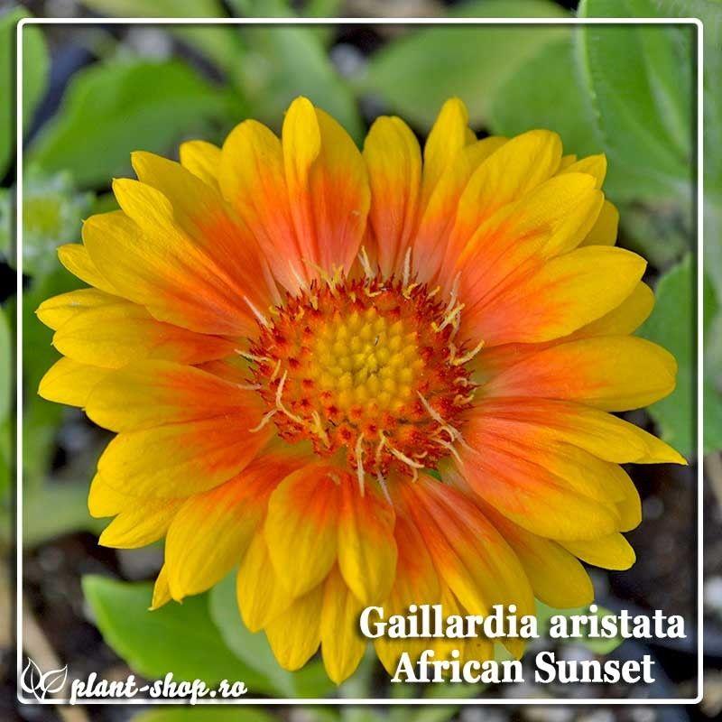 Gaillardia aristata African Sunset G-9