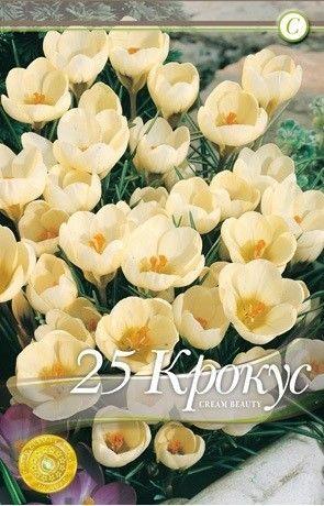 Bulbi de branduse - Crocus botanical Cream Beauty - 25 bulbi