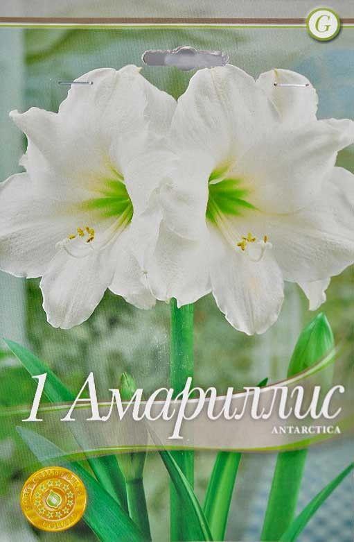 Bulbi de Amaryllis Antarctica