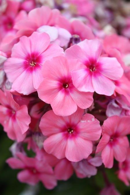 Phlox paniculata Flame Pink G-9