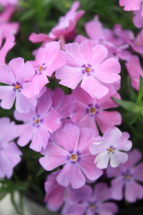 Phlox subulata Early Spring Purple G-9
