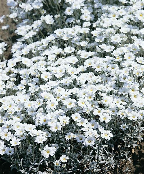 Cerastium tomentosum G-9