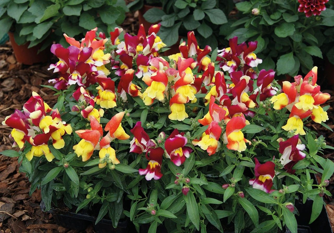 Seminte Antirrhinum Snappy F1 Tricolore mix